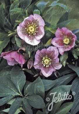 Lenzrose, Helleborus Orientalis -Hybride 'Pink Spotted Lady' - Bild vergrößern