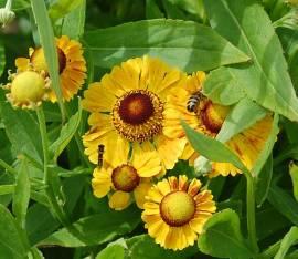 Helenium Hybride 'Blütentisch', Sonnenbraut - Bild vergrößern