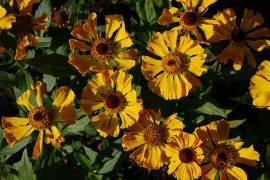 Helenium Hybride 'Feuersiegel', Sonnenbraut - Bild vergrößern