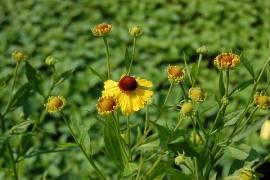 Helenium Hybride 'Gartensonne', Sonnenbraut - Bild vergrößern