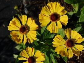 Helenium Hybride 'Hartmut Rieger', Sonnenbraut - Bild vergrößern
