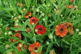 Helenium Hybride 'Kupferzwerg', Sonnenbraut - Bild vergrößern
