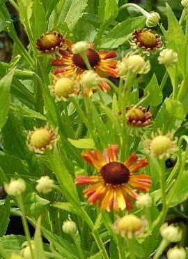 Helenium Hybride 'Loysder Wieck', Sonnenbraut - Bild vergrößern