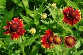 Helenium Hybride 'Margot', Sonnenbraut - Bild vergrößern