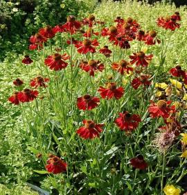 Helenium Hybride 'Moerheim Beauty', Sonnenbraut - Bild vergrößern