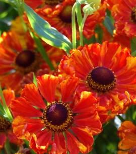 Helenium Hybride 'Wonadonga', Sonnenbraut - Bild vergrößern