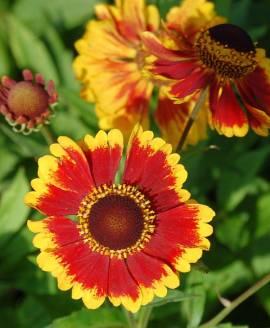 Sonnenbraut, Helenium Hybride 'Biedermeier' - Bild vergrößern