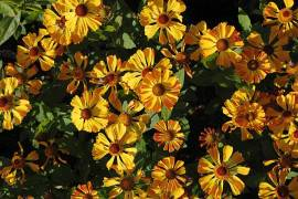 Sonnenbraut, Helenium Hybride 'Can - Can' - Bild vergrößern