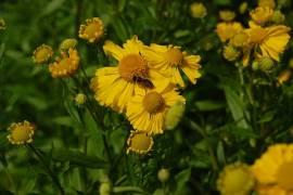 Helenium Hybride 'Helena', Sonnenbraut - Bild vergrößern