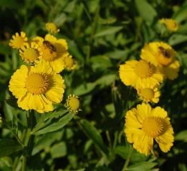 Helenium Hybride 'Kanaria', Sonnenbraut - Bild vergrößern