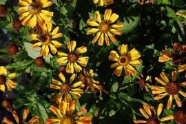 Helenium Hybride 'Rauchtopas', Sonnenbraut - Bild vergrößern
