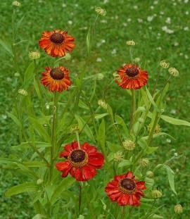 Helenium Hybride 'Red Army', Sonnenbraut - Bild vergrößern