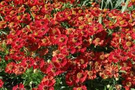 Helenium Hybride 'Rubinzwerg', Sonnenbraut - Bild vergrößern