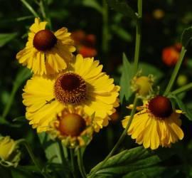 Helenium Hybride 'Wesergold', Sonnenbraut - Bild vergrößern