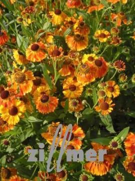 Helenium Hybride 'Waltraut', Sonnenbraut - Bild vergrößern