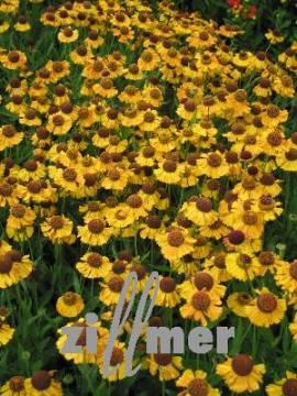 Helenium Hybride 'Wyndley', Sonnenbraut - Bild vergrößern
