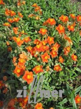 Helianthemum Hybride 'Bronzeteppich', Sonnenröschen - Bild vergrößern