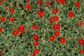 Helianthemum Hybride 'Henfield Brilliant', Sonnenröschen - Bild vergrößern