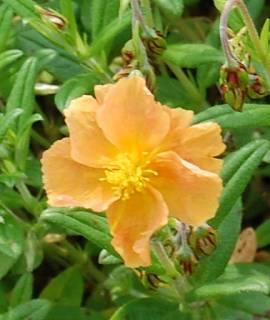 Helianthemum Hybride 'Honeymoon', Sonnenröschen - Bild vergrößern