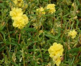 Helianthemum Hybride 'Gelbe Perle', Sonnenröschen - Bild vergrößern