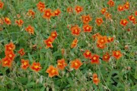 Helianthemum Hybride 'Watergate Orange', Sonnenröschen - Bild vergrößern