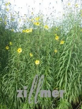 Helianthus orygalis, weidenblättrige Staudensonnenblume - Bild vergrößern