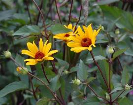 Heliopsis helianthoides var. scabra 'Summer Nights', Sonnenauge - Bild vergrößern