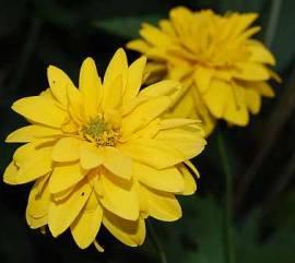Heliopsis helianthoides var. scabra, Sonnenauge - Bild vergrößern