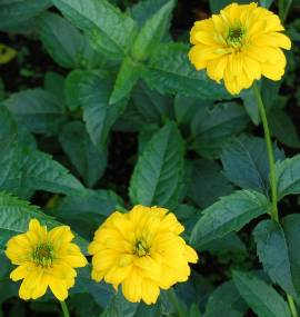 Heliopsis helianthoides var. scabra 'Goldgrünherz', Sonnenauge - Bild vergrößern