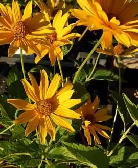 Heliopsis helianthoides var. scabra 'Spitzentänzerin', Sonnenauge - Bild vergrößern