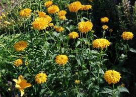 Heliopsis helianthoides var. scabra 'Goldgefieder', Sonnenauge - Bild vergrößern
