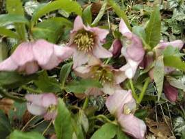 Helleborus Orientalis -Hybride 'Rosa Töne', Lenzrose - Bild vergrößern