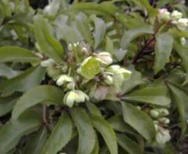 Helleborus x sternii, Lenzrose - Bild vergrößern