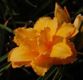 Hemerocallis-Hybriden 'Condilla', Taglilie - Bild vergrößern