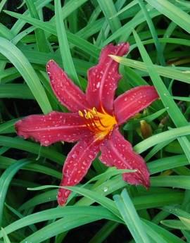Hemerocallis-Hybriden 'Crimson Pirate', Taglilie - Bild vergrößern