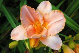 Hemerocallis-Hybriden 'Fair Kelly Michelle', Taglilie - Bild vergrößern