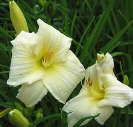 Hemerocallis-Hybriden 'Joan Senior', Taglilie - Bild vergrößern