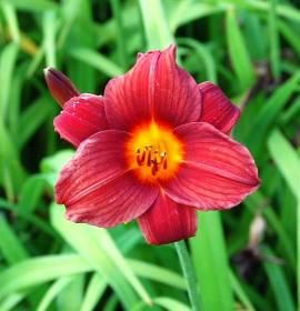 Hemerocallis-Hybriden 'Little Joy', Taglilie - Bild vergrößern