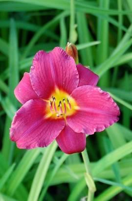 Hemerocallis-Hybriden 'Pardon me', Taglilie - Bild vergrößern