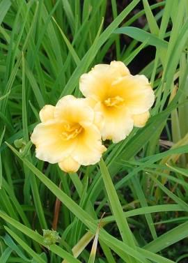 Hemerocallis-Hybriden 'Stella d'Oro', Taglilie - Bild vergrößern