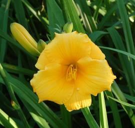 Hemerocallis-Hybriden 'Truffles', Taglilie - Bild vergrößern