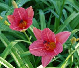 Hemerocallis-Hybriden 'Watermelon', Taglilie - Bild vergrößern