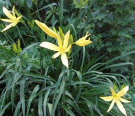Hemerocallis citrina Taglilie, Wildform - Bild vergrößern