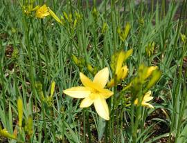 Hemerocallis lilioasphodelus Taglilie, Wildform - Bild vergrößern