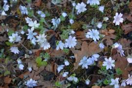 Hepatica transsylvanica, Leberblümchen - Bild vergrößern