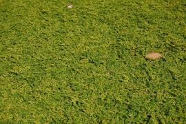 Herniaria glabra, Kahles Bruchkraut - Bild vergrößern