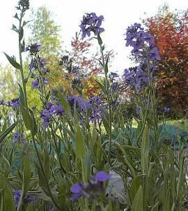 Hesperis matronalis, Nachtviole - Bild vergrößern