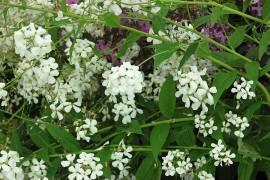 Hesperis matronalis 'Alba', Nachtviole - Bild vergrößern