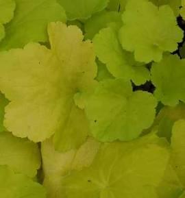 Heuchera Hybride 'Citronella', Purpurglöckchen - Bild vergrößern