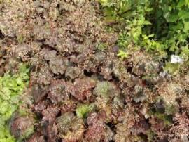 Heuchera micrantha 'Palace Purple', Purpurglöckchen - Bild vergrößern